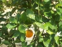 Orangenöl, süß, Brasilien, 50 ml