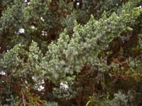 Wacholderholzöl, ab 10 ml